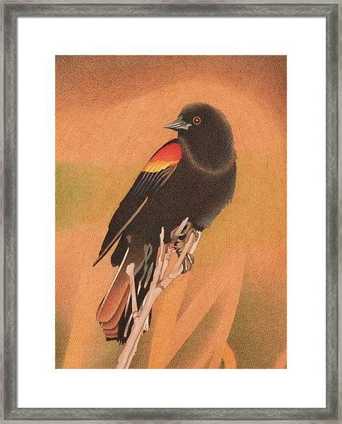 Red-winged Blackbird 3 Framed Print