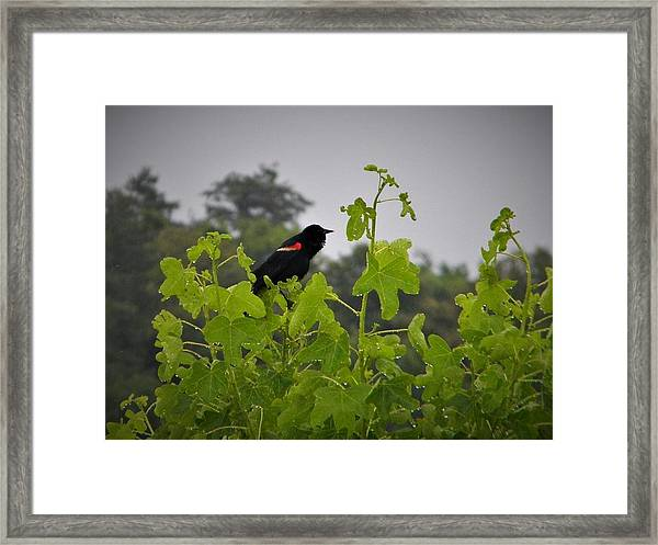 Red Winged Blackbird In The Rain Framed Print