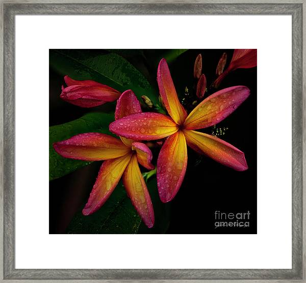 Red/yellow Plumeria In Bloom Framed Print