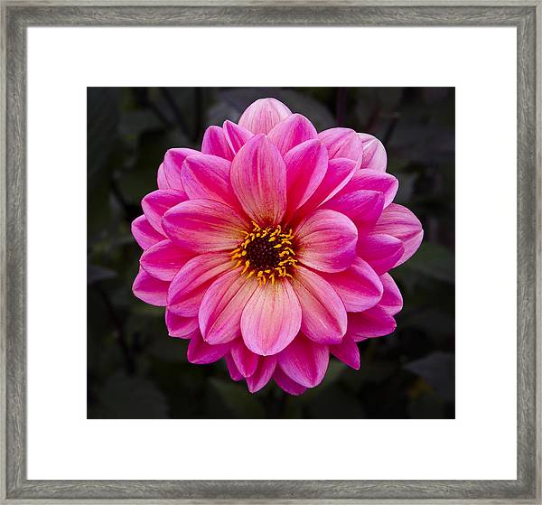 Reddish Dahlia Framed Print