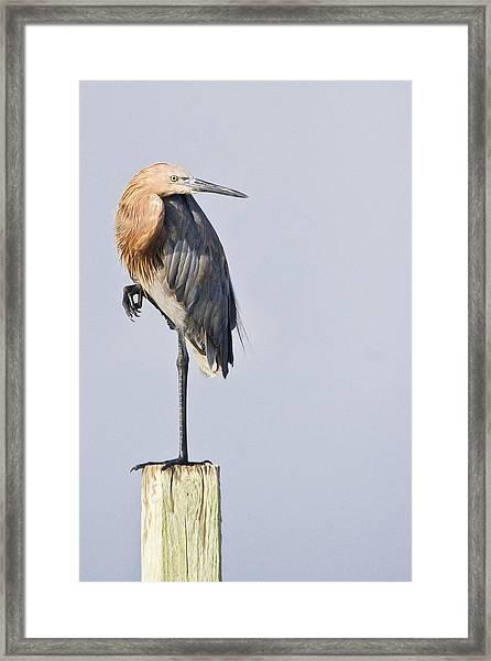 Reddish Egret On Piling Framed Print