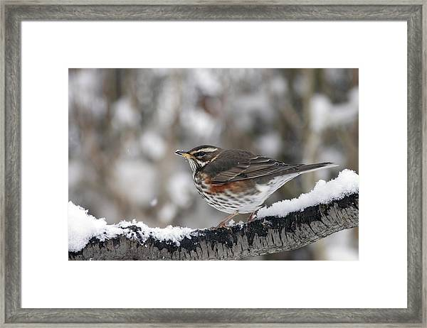 Redwing Perched On A Snowy Branch Framed Print