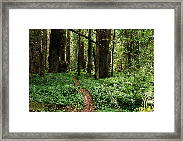 Redwood Forest Path Framed Print