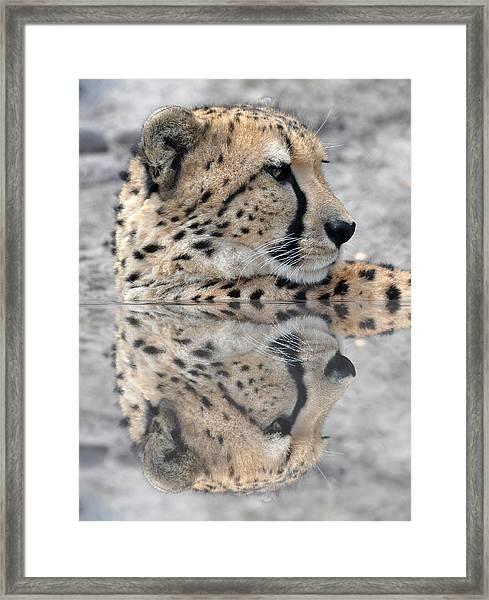 Reflected Cheetah Framed Print by Teresa Blanton