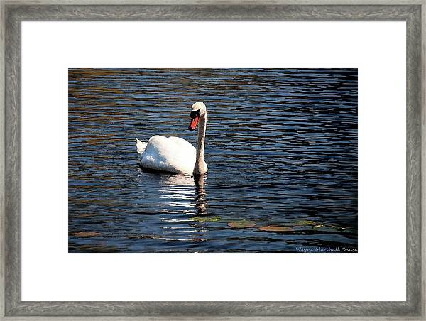 Reflecting Swan Framed Print