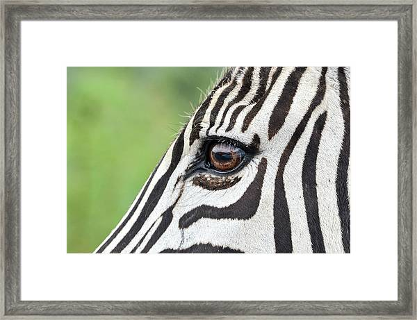 Reflection In A Zebra Eye Framed Print