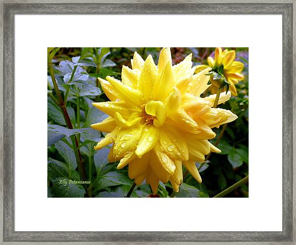 Refreshed Dahlia  Framed Print