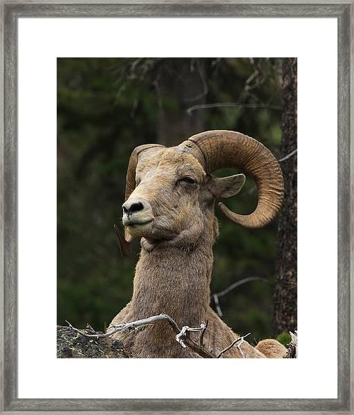 Regal Ram Framed Print