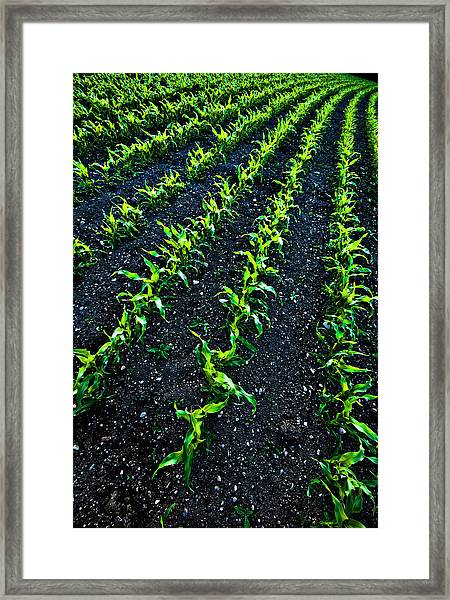 Regimented Corn Framed Print