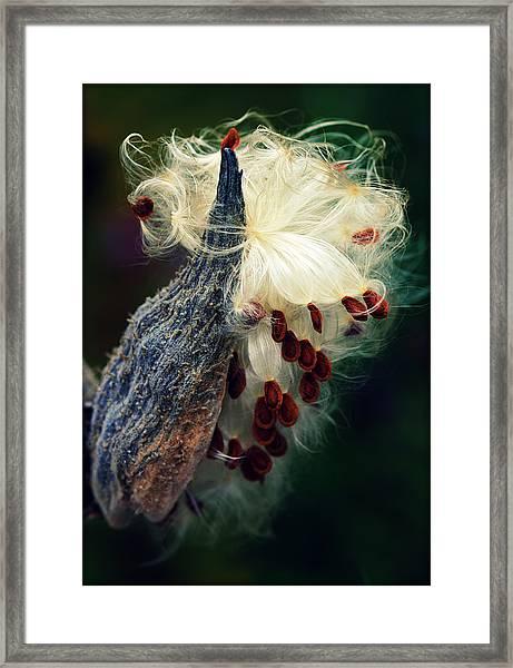 Release The Seed Milkweed Framed Print