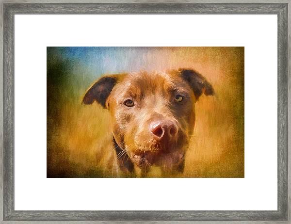 Rescued Chocolate Lab Portrait Framed Print