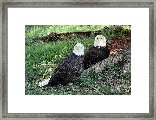 Resting Bald Eagles Framed Print