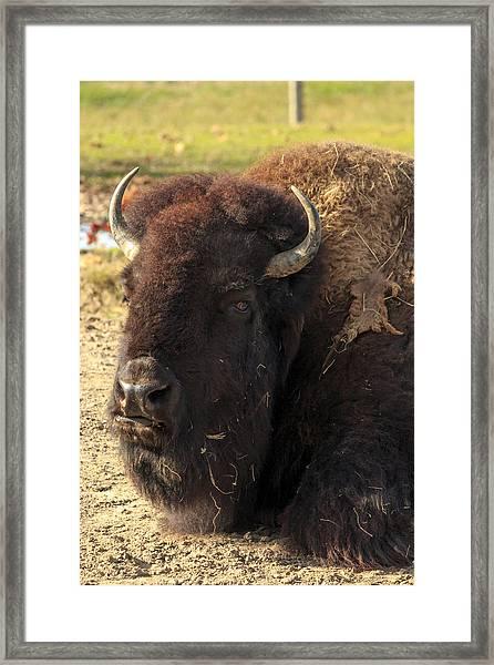 Resting Buffalo Framed Print