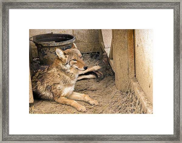 Resting Coyote Framed Print