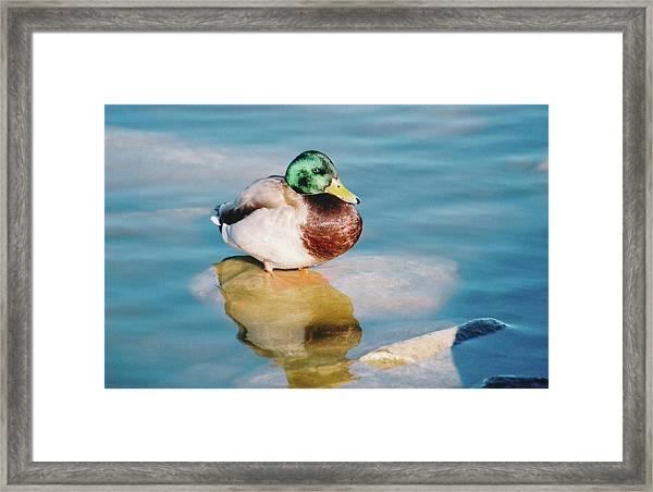 Resting Mallard Framed Print