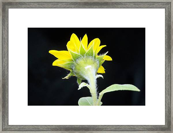Reverse Sunflower Framed Print