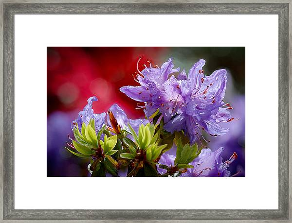 Rhododendron Bluebird Framed Print