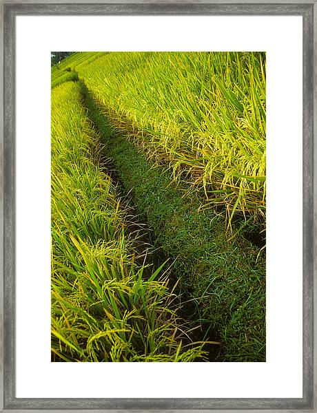 Rice Field Hiking Framed Print