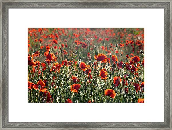 Rich Red Poppys Framed Print