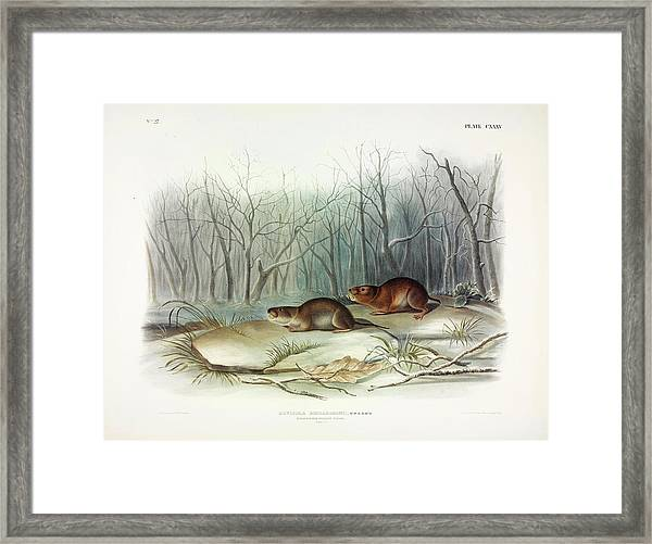 Richardson's Meadow Mouse Framed Print