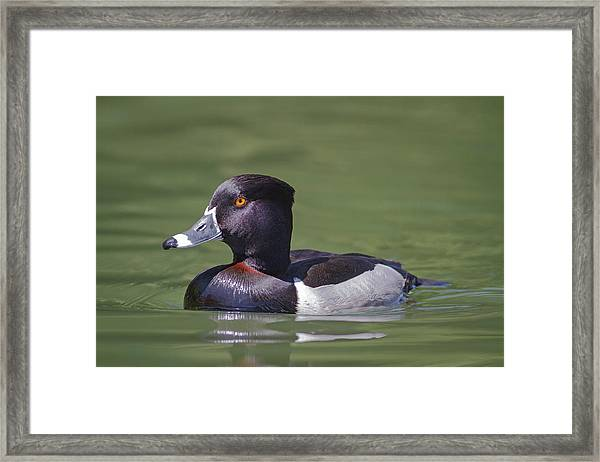 Ring-necked Duck Profile Framed Print