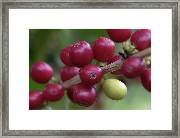 Ripe Kona Coffee Cherries Framed Print