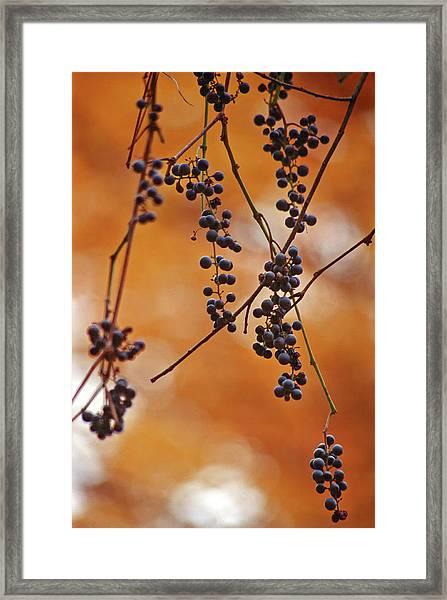 Ripe Wild Grapes  Framed Print
