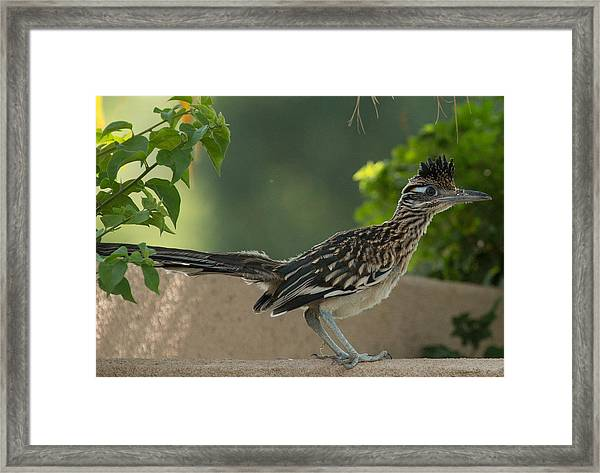 Roadrunner Closeup Framed Print