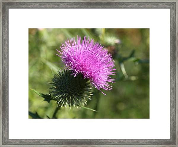 Roadside Thistle - 1 Framed Print