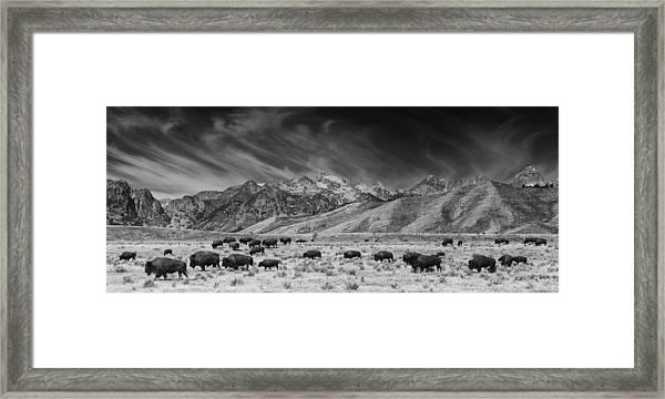 Roaming Bison In Black And White Framed Print