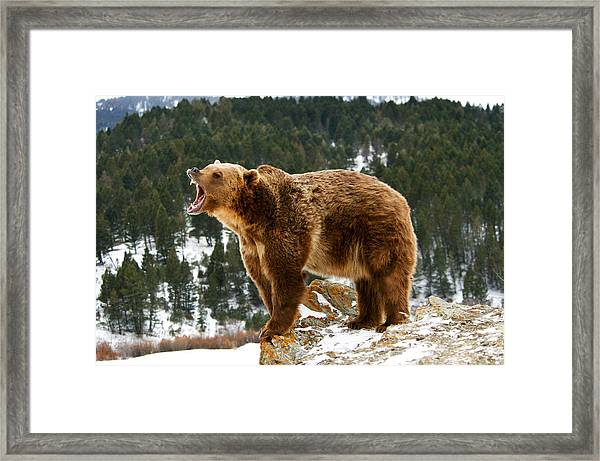 Roaring Grizzly On Rock Framed Print
