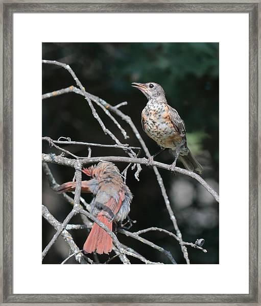 Robin And Cardinal 2664 Framed Print