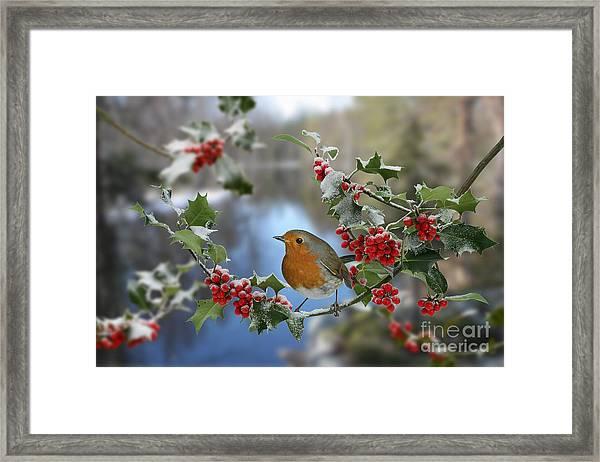 Robin On Holly Branch Framed Print