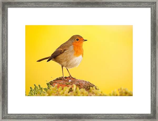 Robin On Yellow Framed Print