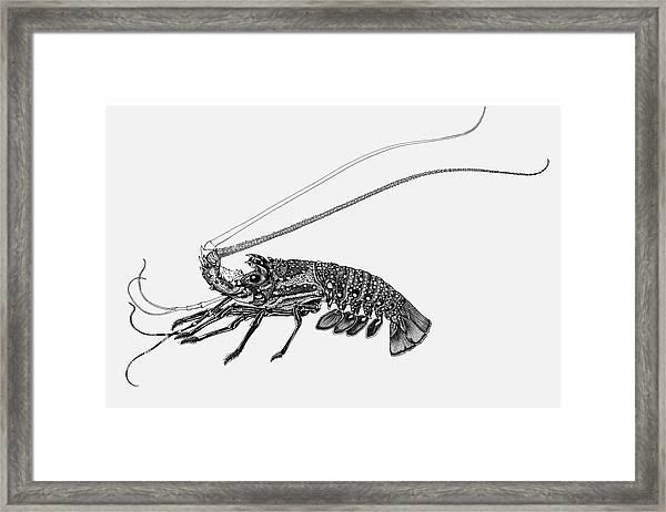 Rock Lobster Framed Print