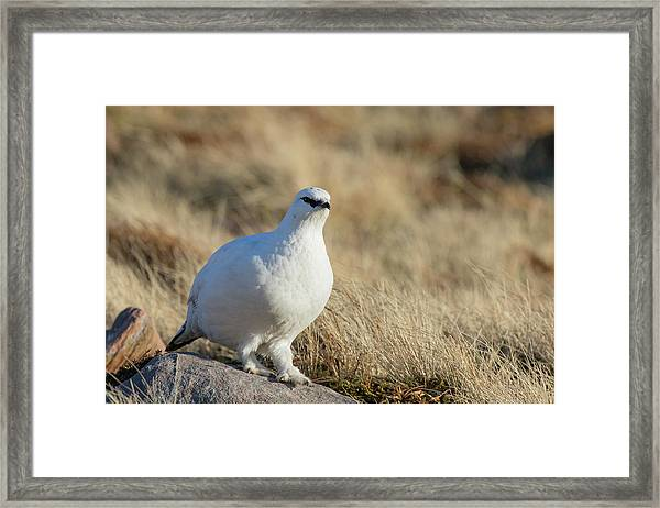 Rock Ptarmigan Framed Print