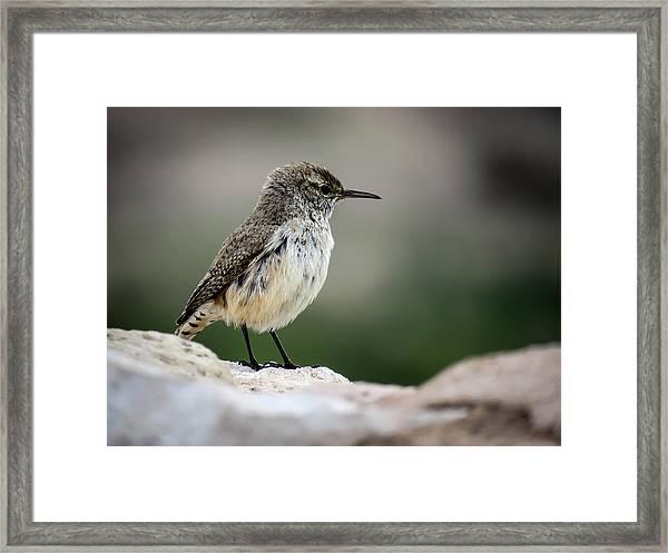 Rock Wren Framed Print
