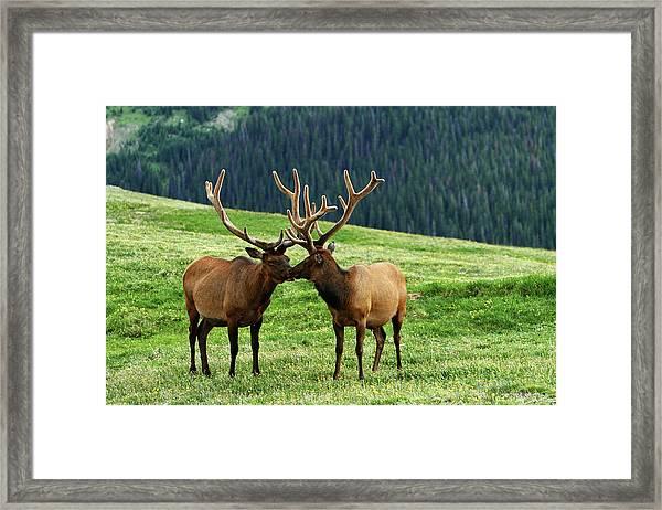Rocky Mountain Elk 2 Framed Print