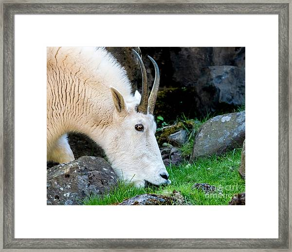Rocky Mountain Goat Busy Eating Framed Print