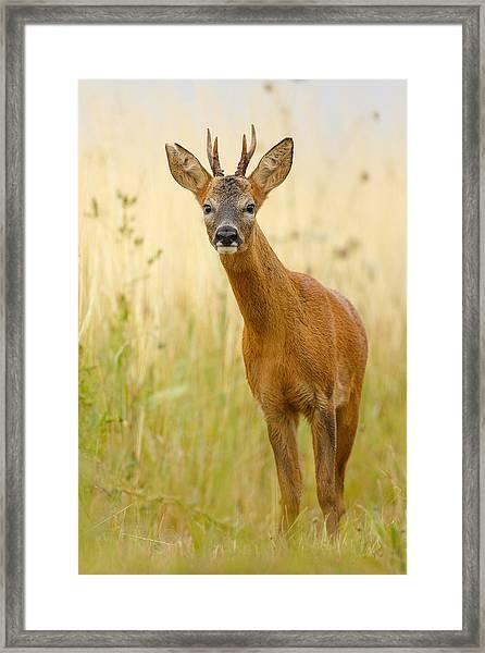 Roe Deer Buck Framed Print