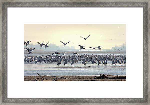 Roosting On The Platte Framed Print