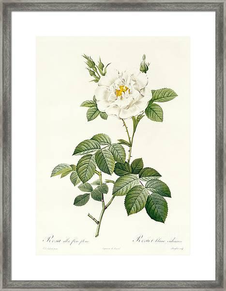 Rosa Alba Flore Pleno Framed Print