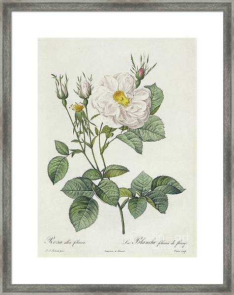 Rosa Alba Foliacea Framed Print