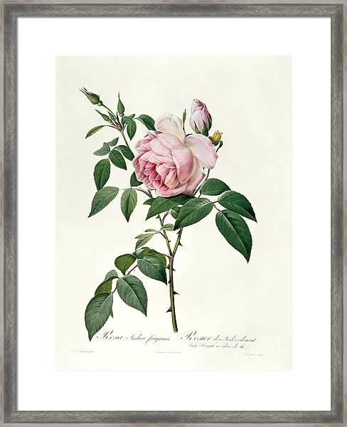 Rosa Chinensis And Rosa Gigantea Framed Print