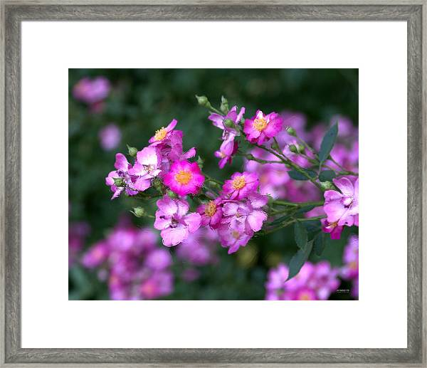 Framed Print featuring the photograph rosa 'Daydream' 1762 by Brian Gryphon