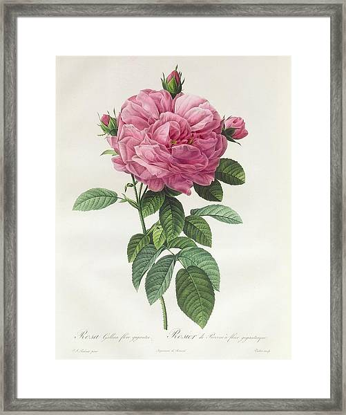 Rosa Gallica Flore Giganteo Framed Print