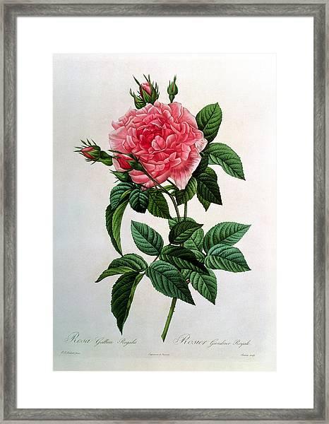 Rosa Gallica Regallis Framed Print