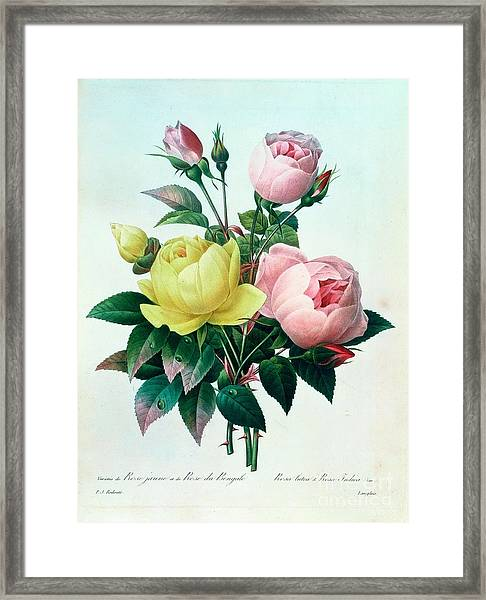 Rosa Lutea And Rosa Indica Framed Print