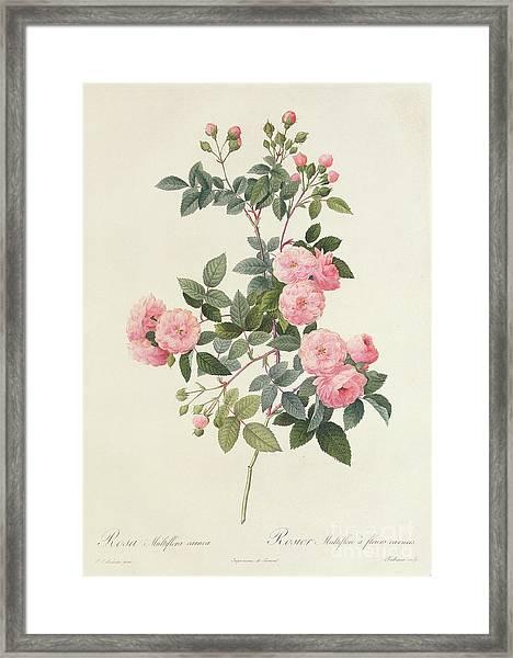 Rosa Multiflora Carnea Framed Print