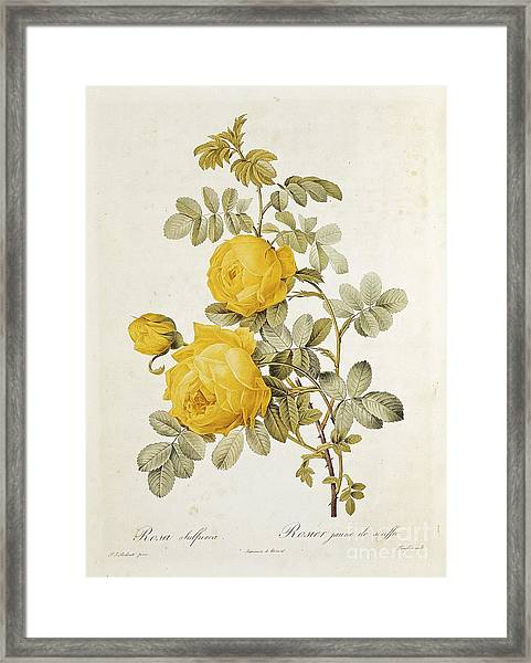 Rosa Sulfurea Framed Print